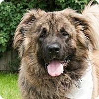 Shepherd (Unknown Type) Mix Dog for adoption in Hamilton, Montana - Boaz