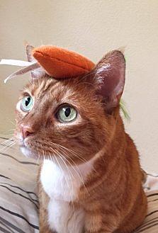 Domestic Shorthair Cat for adoption in Los Angeles, California - Casper