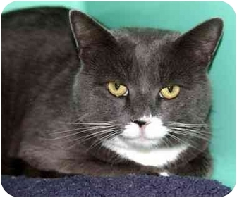 Domestic Shorthair Cat for adoption in Phoenix, Oregon - Richard