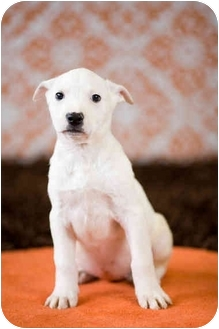 Pit Bull Terrier/Boxer Mix Puppy for adoption in Portland, Oregon - Mimi