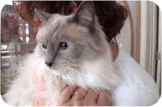 Ragdoll Cat for adoption in Davis, California - Beauregard