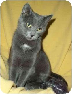 Russian Blue Kitten for adoption in Spencer, New York - Tyler