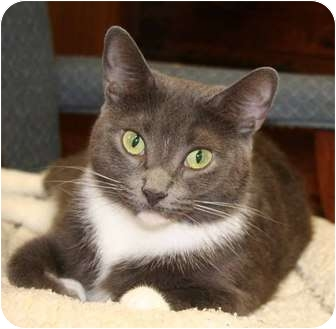 Domestic Shorthair Cat for adoption in Naples, Florida - Vicky