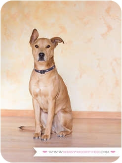 Basenji/Golden Retriever Mix Dog for adoption in Seattle, Washington - Jinja