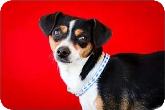 Jack Russell Terrier/Chihuahua Mix Puppy for adoption in Marysville, Washington - Cookie