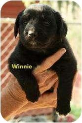 Retriever (Unknown Type) Mix Puppy for adoption in Danbury, Connecticut - Winnie