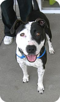 American Pit Bull Terrier Mix Dog for adoption in Vista, California - Geneva