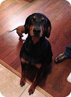 Doberman Pinscher Dog for adoption in killeen, Texas - SNOOP- Referral Doberman