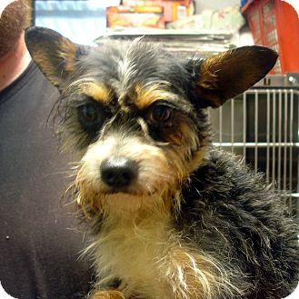 Yorkie, Yorkshire Terrier/Schnauzer (Miniature) Mix Dog for adoption in Greencastle, North Carolina - Bubba