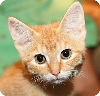 Domestic Shorthair Kitten for adoption in Winston-Salem, North Carolina - Butters