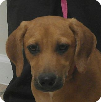Labrador Retriever/Redbone Coonhound Mix Puppy for adoption in Seneca, South Carolina - Addie