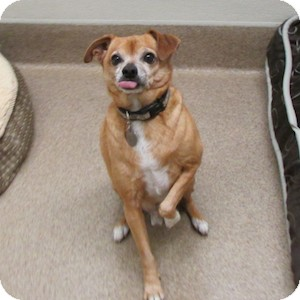 Chihuahua Mix Dog for adoption in Gilbert, Arizona - Jumper