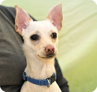 Chihuahua Mix Dog for adoption in Wilmington, Delaware - Semmi