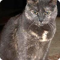 Adopt A Pet :: Torti - Plainville, MA