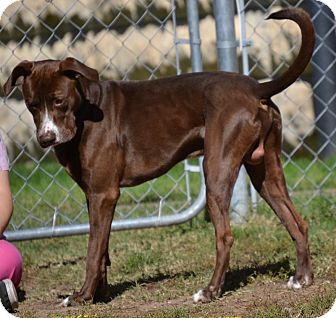 Pointer/Labrador Retriever Mix Dog for adoption in Fort Riley, Kansas - Braxton