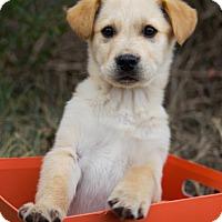 Adopt A Pet :: *Nicholas - PENDING - Westport, CT