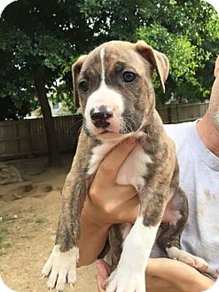 Labrador Retriever/American Pit Bull Terrier Mix Puppy for adoption in Hatifeld, Pennsylvania - Achilles