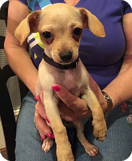 Chihuahua Mix Puppy for adoption in Hurst, Texas - Tank