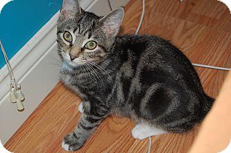 Domestic Shorthair Cat for adoption in Lacona, New York - Tucker
