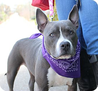 Pit Bull Terrier/American Staffordshire Terrier Mix Dog for adoption in Atlanta, Georgia - KC