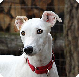 Greyhound Dog for adoption in Ware, Massachusetts - Sassy