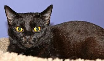 Domestic Shorthair Cat for adoption in Memphis, Tennessee - xena