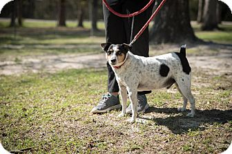Jack Russell Terrier Dog for adoption in Daleville, Alabama - Jack