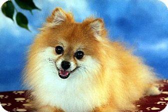 Pomeranian Dog for adoption in Dallas, Texas - Piper