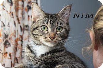 Domestic Shorthair Cat for adoption in Edwardsville, Illinois - Nim