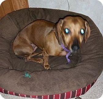 Dachshund Mix Dog for adoption in Charlotte, North Carolina - ELLIE
