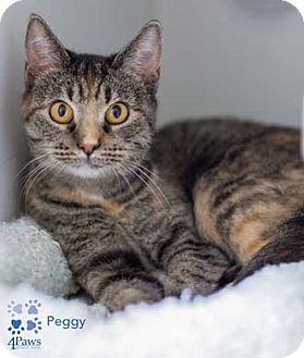 Domestic Shorthair Cat for adoption in Merrifield, Virginia - Peggy