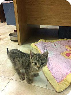 Domestic Shorthair Kitten for adoption in Lancaster, Pennsylvania - Nemo