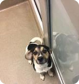 Hound (Unknown Type) Mix Dog for adoption in Columbus, Georgia - Odie 1607