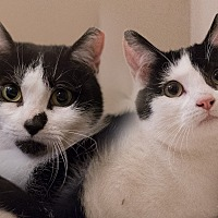 Domestic Shorthair Cat for adoption in Staten Island, New York - Buttons and Panda
