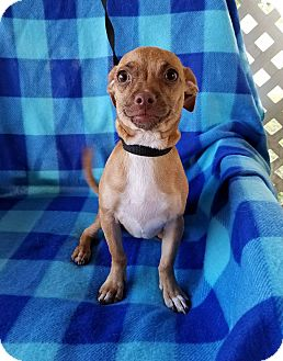 Chihuahua Mix Puppy for adoption in Houston, Texas - Capella