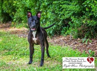 American Pit Bull Terrier Mix Dog for adoption in North Myrtle Beach, South Carolina - Cloda