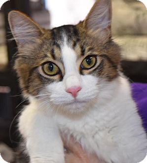 Domestic Mediumhair Kitten for adoption in River Edge, New Jersey - Chip