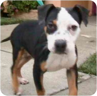 Beagle/American Pit Bull Terrier Mix Dog for adoption in Berkeley, California - Little One