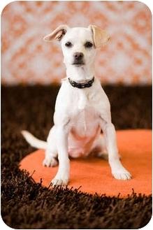 Cocker Spaniel/Dachshund Mix Puppy for adoption in Portland, Oregon - Delila