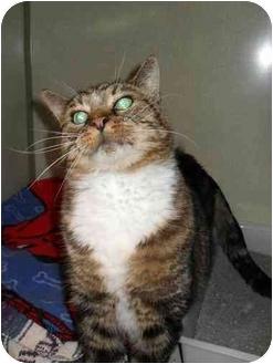 Domestic Shorthair Cat for adoption in Elizabeth, Colorado - Koshka