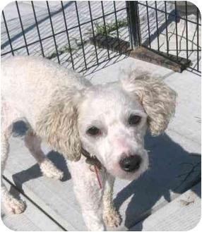 Poodle (Miniature) Mix Dog for adoption in Ile-Perrot, Quebec - Norton