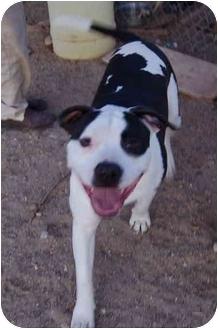 American Pit Bull Terrier/American Pit Bull Terrier Mix Dog for adoption in Acton, California - Sinbad