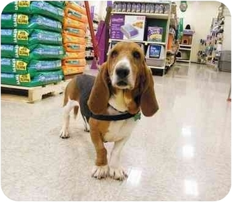 Basset Hound Dog for adoption in Lombard, Illinois - Patty