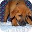 Photo 4 - Shepherd (Unknown Type)/Rhodesian Ridgeback Mix Puppy for adoption in Broomfield, Colorado - Donald Duck