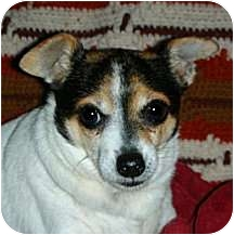 Rat Terrier Mix Dog for adoption in Dallas, Texas - Ripley