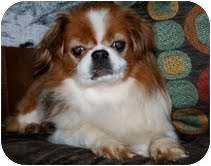 Pekingese/Japanese Chin Mix Dog for adoption in Virginia Beach, Virginia - Niles