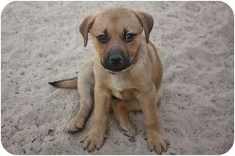 Shepherd (Unknown Type)/Labrador Retriever Mix Puppy for adoption in Hazlet, New Jersey - Amanda