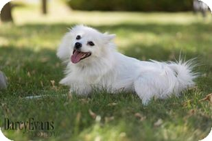 American Eskimo Dog Mix Dog for adoption in Edmonton, Alberta - Valko
