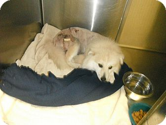Pomeranian Mix Dog for adoption in Hearne, Texas - Jeremiah