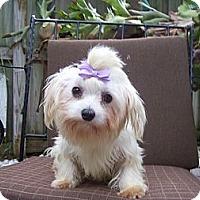 Adopt A Pet :: purple bow - CAPE CORAL, FL